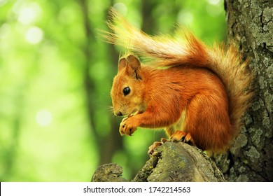 Sciurus. Rodent. The squirrel sits on a tree and eats. Beautiful red squirrel in the park.