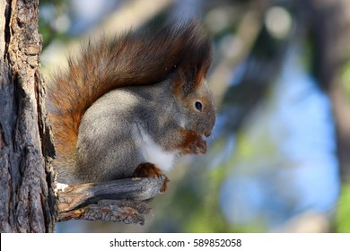 Sciurus vulgaris. Red squirrel sitting on the dry branch of the cedar
