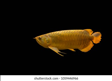 Scleropages formosus auspicious fish of the Chinese  or another name that the Chinese people call golden dragon Arowana fish Isolated on background