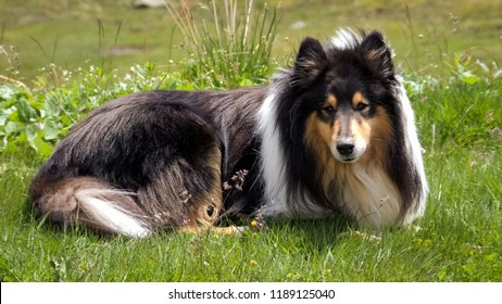 ScoLooking at a Scottish (or Scotch, Rough) Collie lying in green Swiss fields. The Scotch Collie is a landrace breed of dog which originated from the highland regions of Scotland