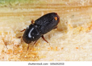 Scolytus rugulosus the shothole borer under bark of plum tree. It is a species of bark beetles (subfamily Scolytinae) a pest of many fruit trees.