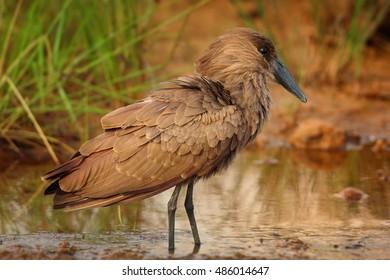 Scopus umbretta, Hamerkop or Hammerhead, african wading bird in typical wetland habitat, standing in shallow water next to river bank. Tanzania, Saadani.
