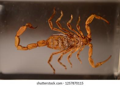 Scorpio embalmed closeup