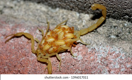 Baby Scorpion Images, Stock Photos & Vectors | Shutterstock