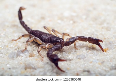 Scorpion creeps on the sand close up.