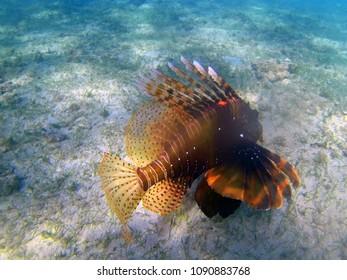 Scorpion fish (Mayotte, France)