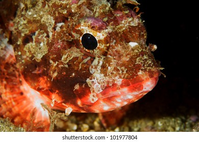 Scorpion fish (Scorpaena notata) in Sesimbra, Portugal