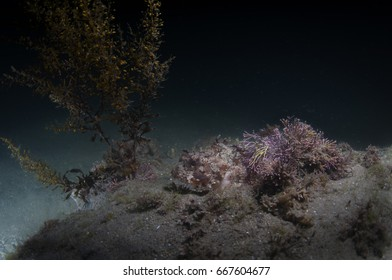 Scorpion Fish using camouflage to hide from predators.