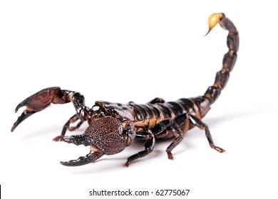 Scorpion isolated on white background.