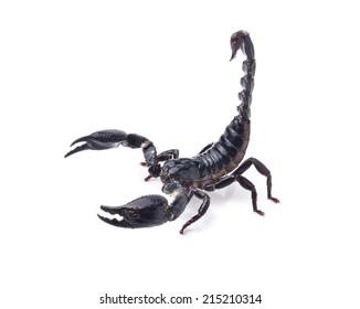 Scorpion on white background
