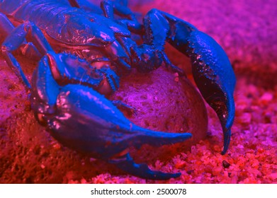 A scorpion shines in mysterious blue color under effect of UV light.
