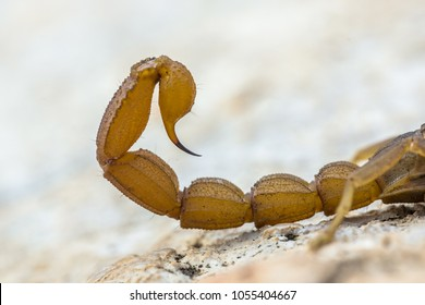 Scorpion sting in defensive mode against danger