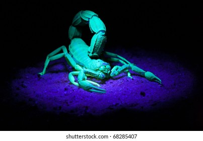 Scorpion in UV-light