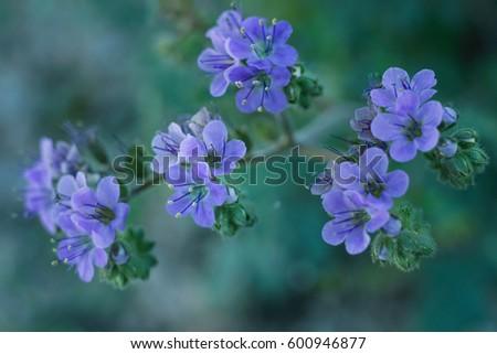 Scorpion Weed Purpleviolet Desert Wildflower Arizona Stock Photo