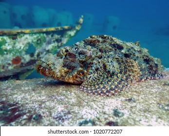 Scorpionfish in Dauin, Dumaguete, Negros Island - Philippines