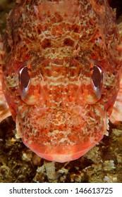 Scorpionfish (Scorpaena notata) in Sesimbra, Portugal