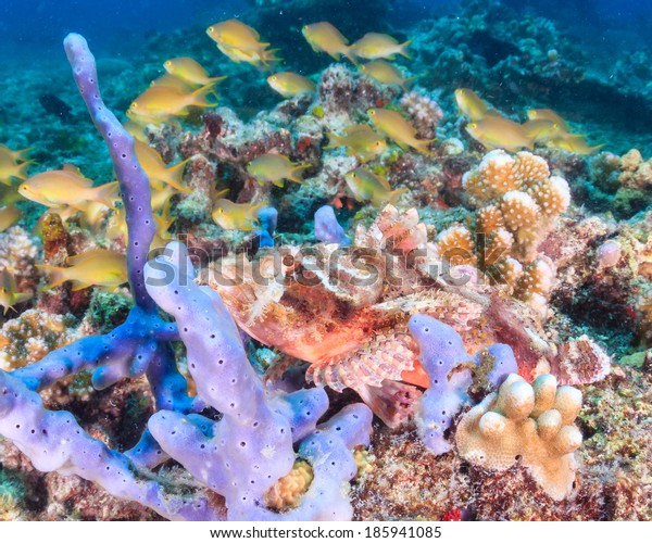 Scorpionfish well hidden on a tropical coral reef