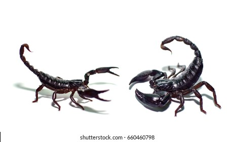 Scorpions fighting isolated  on white background,Black scorpion,