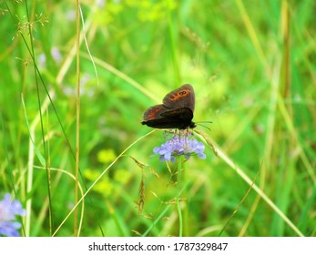 Scotch argus (Erebia aethiops) butterfly with brown wings and orange-red markings and black spots with white center