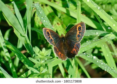 The Scotch argus ( Erebia aethiops ) lives in meadows in Europe