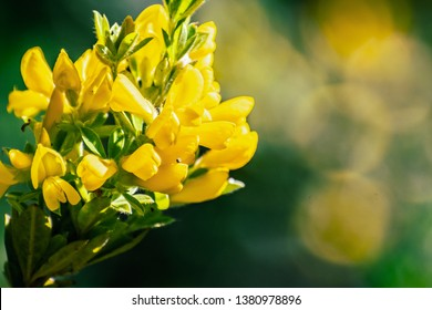 Scotch Broom; English Broom; Common Broom (Cytisus scoparius, Sarothamnus scoparius) in bloom, California
