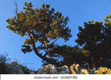 Scotch fir on the rocky wall in Croatia, summer view