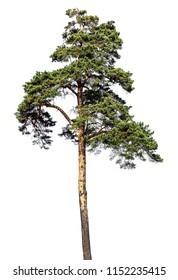 Scotch fir, pine conifer tree, pine-tree isolated