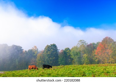 Scotch Highland cattle in a field in Stowe, Vermont