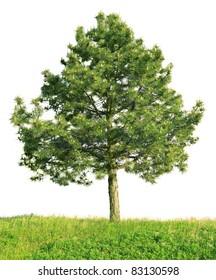 Scotch pine (Pinus sylvestris) isolated on a white background
