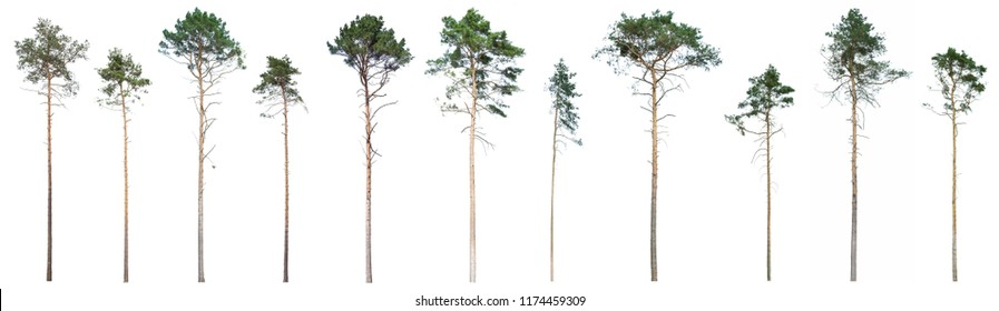 Scotch pine (Pinus sylvestris) tree isolated on white background. Isolated Scots pine that grew in the woods on a white background. to isolate pine trees that have grown up in the forest forest