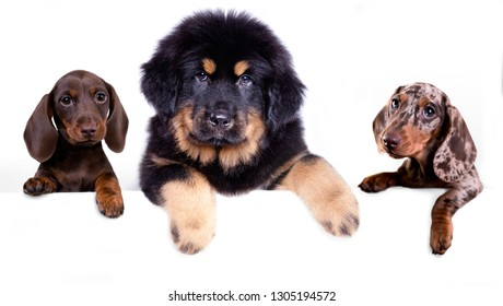 Scotch terrier puppy and dachshund a white background