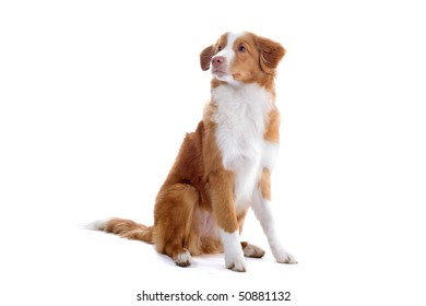scotia nova duck-tolling retriever puppy isolated on a white background
