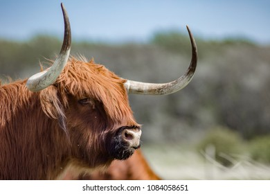 A scotisch highlander bull is showing his powerfull horns