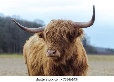 Scotish highland cattle