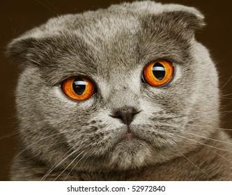 scotitish fold grey cat.studio shot.