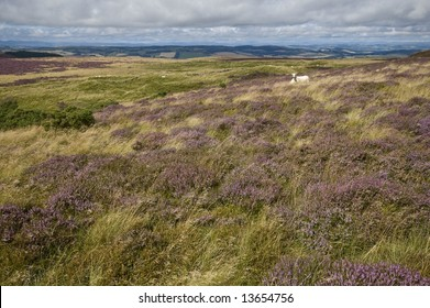 Scotland - heather