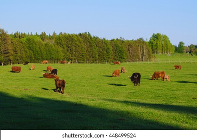 Scotland highland hairy red cows with calf grazing at the green summer meadow, agricultural livestock organic food concept