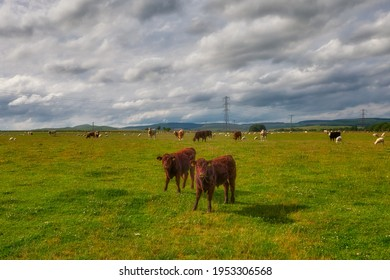 Scotland Livingstone, Livingstone, grazing cattle, Black and Brown Cows