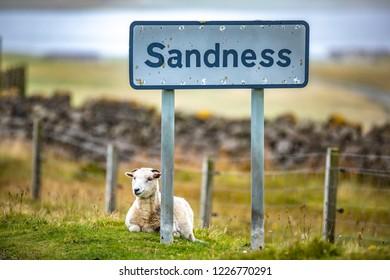 Scotland, Shetland Islands, Beautiful view of island Shetland sheeps on the road