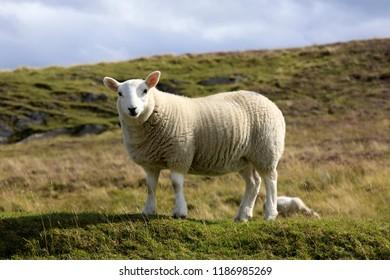 Scotland, UK - August 11, 2018: A sheep, Scotland, Highlands, United Kingdom