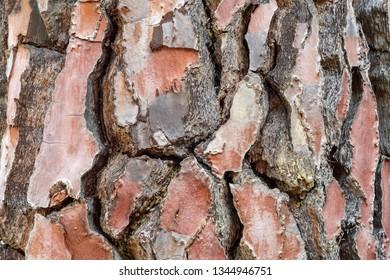 Scots pine bark detail. Pinus sylvestris.