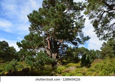 Scots pine forests in Cairngorms National Park, Scotland