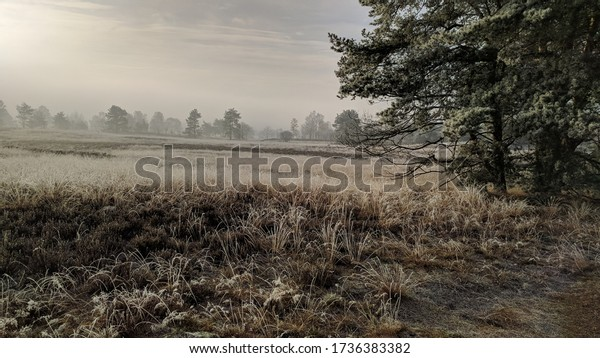 Scots Pine scattered in Dutch Veluwe landscape, the largest push moraine complex in the Netherlands, formed by sand deposits of the Saalian glacial
