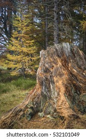 Scots Pine Stump and Larch at Loch an Eilein in Scotland.
