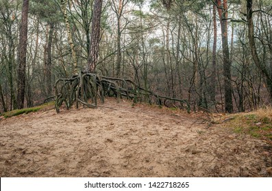 Scots pine tree with erratic shaped aboveground roots. The photo was taken on a cloudy winter day in the Dutch nature reserve of Boswachterij Dorst, Oosterhout, North Brabant.