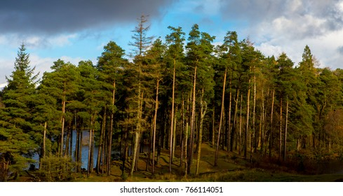 Scots Pines in the Lake District National Park in summer taken at Tarn Hows