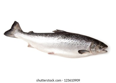 Scottish Atlantic Salmon (Salmo solar) whole, isolated on a white studio background.