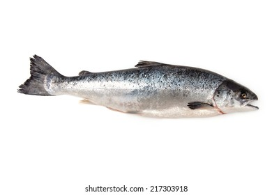 Scottish Atlantic Salmon (Salmo solar) whole fish, isolated on a white studio background.