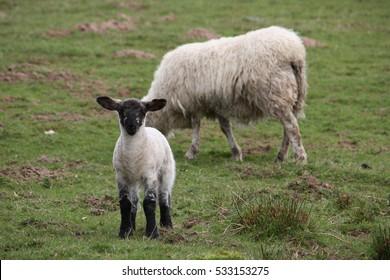 Scottish blackface lambs in a countryside farm