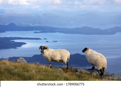 Scottish Blackface sheep breed in Norway. Stord island agriculture.